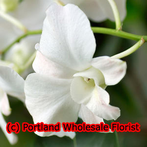 Orchids Wholesale Wedding and Event Flowers Seattle Wholesale